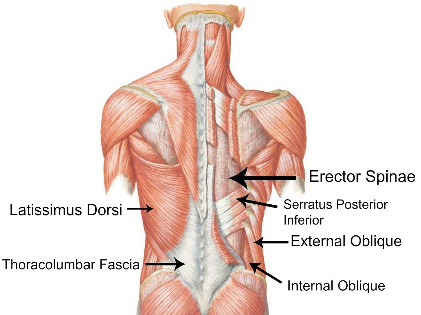 שרירי גב - ליבה